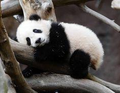 Panda ♥