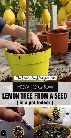 How to Grow Lemon Tree from Seed Indoors How to Grow Lemon tree - You may think you can only grow lemon trees outdoors in a warm region, but this is not the case. A lemon tree can do very well in a pot using the correct container and proper care. Indoor Vegetable Gardening, Home Vegetable Garden, Container Gardening Vegetables, Fruit Garden, Edible Garden, Container Plants, Garden Grass, Garden Pond, Garden Fencing