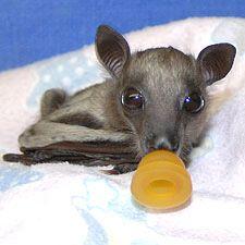 Bat World Sanctuary - Bat rescue, bat rehabilitation, bat conservation, and sanctuary for bats. A non-profit organization dedicated to bats!