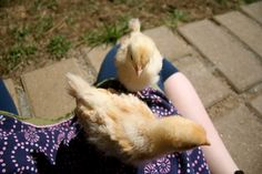 Most chicken keepers these days have friendly, tamed chickens whom they consider to be pets....