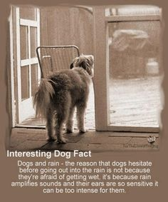 Did you know? Dogs hesitate to go out in the rain not because they dislike getting wet, but because the rain amplifies sounds and their ears are so sensitive that it can be too intense for them.