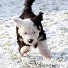 Old English Sheepdog Puppies   First winter. An Old English Sheepdog puppy experiences snow for the ...