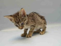 CONNER - #A1080742Super Urgent Brooklyn - **MUST BE PULLED BY NEW HOPE RESCUE** - MALE BRN TABBY, DOMESTIC SH MIX, 5 Weeks - STRAY - NO HOLD Intake 07/10/16 Due Out 07/13/16