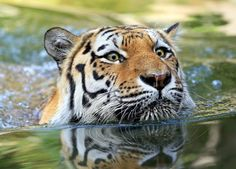 Amur Tiger; bow wave by Klaus Wiese on 500px