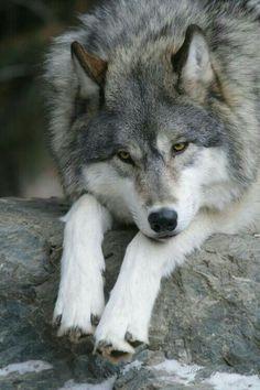 Wolf Photos, Wolf Pictures, Wolf Spirit, Spirit Animal, Beautiful Creatures, Animals Beautiful, Tier Wolf, Animals And Pets, Cute Animals