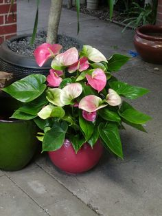 Pink anthurium - Calvert's Plant Interiors | It's Time!
