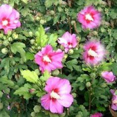 Hibiscus syriacus 'Woodbridge' - Hibiskus / Garteneibisch 'Woodbridge'