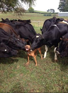 Ain't friends great? #dogs #cows