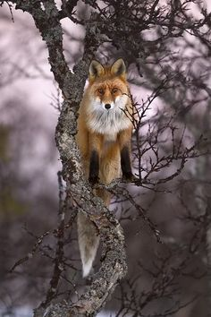 Fox in a tree, photograph by Kjartan Trana