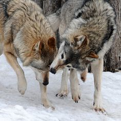 Wolf Love by Andrey Sheremet ( Beautiful Creatures, Animals Beautiful, Cute Animals, Coyotes, Canis Lupus, Wolf Spirit Animal, Wolf Love, Wolf Pictures, Wild Wolf