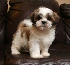 "Click visit site and Check out Cool ""Shih Tzu"" T-shirts. This website is outstanding. Tip: You can search ""your name"" or ""your favorite shirts"" at search bar on the top. More"