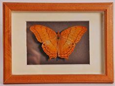 Opgezette vlinder in oude lijst  - V0016
