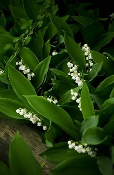 ☆ Kwiaty - Konwalie - lily of the valley - Liljekonvalj ☆ - Beautiful Flowers, Plants, Beautiful Gardens, White Flowers, Planting Flowers, Woodland Garden, Secret Garden, White Gardens, Shade Garden