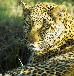 Leopard | Africa Animals | Dani Blanchette  http://www.lagringaphotos.com/kenya/ec59d15c  #naturephotography #frifoto #kenya