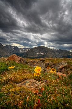 Flowers at 12,000 feet in Colorado's Rocky Mountain National Park; photo by Peter Tellone