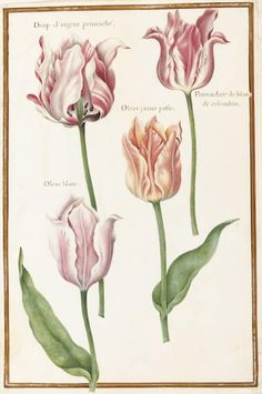 Four different varieties of 'broken' Tulips. Robert, Nicolas; draughtsman; attributed to; French artist, 1614-1685.
