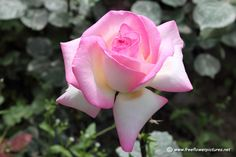 Big pink rose, High quality pictures and images of flowers. Pink Rose Pictures, Flower Pictures, Unique Roses, White Light, Bloom, Pink Stuff, Flowers, Plants, Big