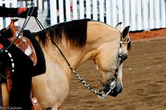 Buckskin Arab; my favourite colour and second favourite breed