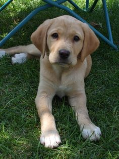 a beagle mixed with lab?? think i found my dream dog <3