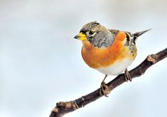 Brambling.. by Ferenc Hoffman on 500px