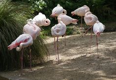 Greater Flamingos - #Auckland Zoo