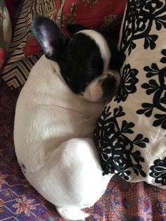 My French Bulldog Puppy.