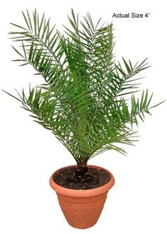 Sylvester Date Palm Tree, Wild Date Palm, Phoenix Sylvestris Buy Bonsai Tree, Bonsai Tree Care, Bonsai Tree Types, Indoor Bonsai Tree, Bonsai Trees, Palm Tree Fruit, Palm Tree Plant, Small Palm Trees, Small Palms