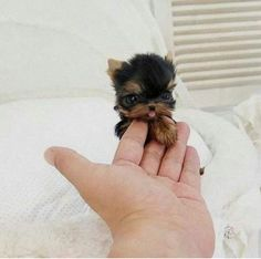 26 Teeny Tiny Puppies Guaranteed To Make You Say Awww! Question: Who loves tiny puppies? Correction: Everyone! Everyone loves tiny puppies! Tiny Puppies, Cute Dogs And Puppies, Doggies, Adorable Puppies, Miniature Puppies, Tiny Dog, Fluffy Puppies, Cute Pets, Cute Small Dogs