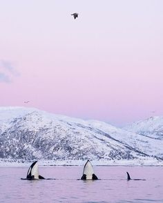 Gorgeous orca photo by The Effective Pictures We Offer You About Mammals aesthetic A quality picture can tell you many things. You can find the most beautiful pictures that can .