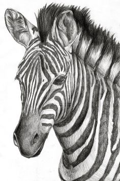 A zebra drawing I drew for a friend's graduation present way back in 2012. So, an older drawing. Her favorite animal was always the zebra.