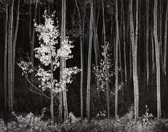 ANSEL ADAMS.   (1902-1984) Aspens, Northern New Mexico, from 'Portfolio VII' Sold for US$ 22,500 inc. premium 100 PHOTOGRAPHS.  6 Apr 2018