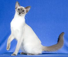 Blue Point Balinese Kittens Cutest, Cute Cats, Oriental Shorthair Cats, Balinese Cat, Cat Health Care, Japanese Bobtail, Blue Point, Cat Colors, Buy A Cat