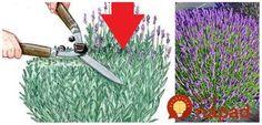 Mnohí ľudia váhajú a tápu pokiaľ ide o jarný rez (alebo strihanie) levandule. Takmer v každom článku sa hovorí o strihaní niečo iné. Na jednom mieste sa dočítate, že strihať sa má až na jeseň, Planting Succulents, Outdoor Gardens, Garden Tools, Diy Crafts, Gardening, Plants, Word Problems, Inspiration, Houses