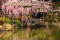 京都市左京区にある平安神宮 神苑の桜。ピンクにそまる気品ある庭園。優雅に咲き乱れる水辺のしだれ桜など。平安神宮神苑は京都のしだれ桜の名所。2016年4月8日訪問、撮影。