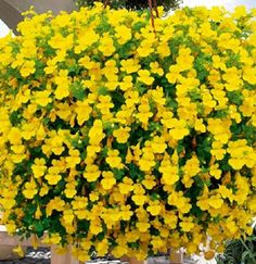 Violas are just such a great plant–they flower and flower and flower. The range of color and textures is fantastic, and it seems more and more color breaks are being developed. Violas can make themselves at home almost anywhere – they love the cooler temperatures and are a great plant for Spring and Autumn hanging baskets