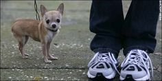 Guinness World Record...The smallest dog in terms of length is Heaven Sent Brandy, a female chihuahua who measured 15.2 cm (6 in) from the nose to the tip of the tail on 31 January 2005. Brandy lives with her owner, Paulette Keller in Largo, Florida, USA. I bred this dog and I lovbe Paulette!
