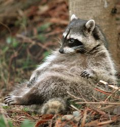 Redneck Raccoon:  I'm stuffed! Think I'll sit awhile...      ...photographer not listed...