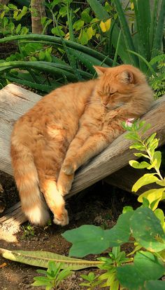 cat in garden asleep-we can't be on watch all the time!  However, every garden needs a kitty!! ^~^