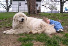 Great Pyrenees guarding his person.now there's a dog with a real job! Dogs And Kids, Animals For Kids, Animals And Pets, Cute Animals, Pyrenees Puppies, Great Pyrenees Dog, Corgi Puppies, Giant Dogs, White Dogs