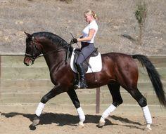 L.A. Baltic Inspiration -Swedish Warmblood Stallion Directory