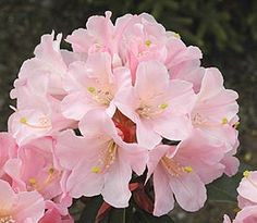 Rhododendron 'Primary Pink'
