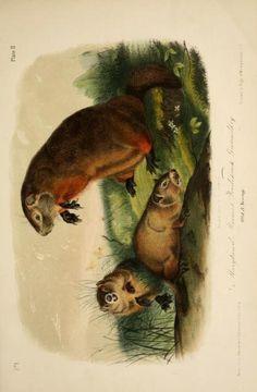 1 - The quadrupeds of North America, - Biodiversity Heritage Library