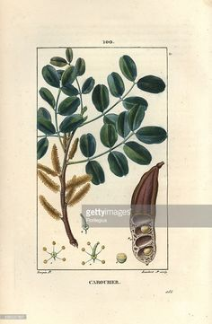 Carob tree or Saint John's bread, Ceratonia siliqua. Handcoloured stipple copperplate engraving by Lambert Junior from a drawing by Pierre Jean-Francois Turpin from Chaumeton, Poiret et Chamberet's La Flore Medicale Paris, Panckoucke, 1830. Turpin (1775~1840) was one of the three giants of French botanical art of the era alongside Pierre Joseph Redoute and Pancrace Bessa.