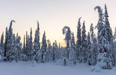 Spruce forest in mid-winter. Lapland Finland, Community, World, Winter, Winter Time, The World, Winter Fashion