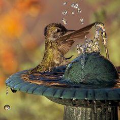 Anna's hummingbird splashing in water How To Attract Hummingbirds, Attracting Hummingbirds, Invasive Plants, Backyard Water Feature, Humming Bird Feeders, Humming Birds, Butterfly Photos, Tiny Bird, Hummingbirds