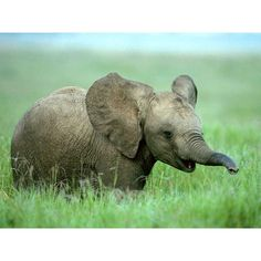 · Gallery · Animals · Baby ELEPAHT AWWW! ❤ liked on Polyvore featuring animals