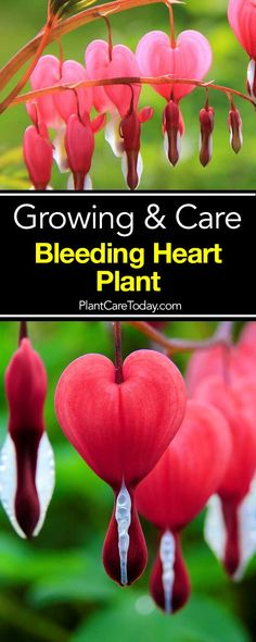 The Bleeding Heart Plant, also known as Lamprocapnos spectabilis. its delightful, heart shaped flowers measuring about an inch in size [LEARN MORE]