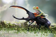 A knight and his steed: a tropical capture in Costa Rica.