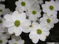 Dogwood Facts :: North Carolina Museum of History  Office of Archives and History, N.C. Department of Cultural Resources :: http://www.ncdcr.gov/Portals/7/Collateral/database/Dogwood.pdf