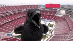 Stadium Series webcam surprise visitor A surprise visitor stops by the 2015 Coors Light NHL Stadium Series webcam during the rink build at Levi's Stadium. Video courtesy of San Francisco 49ers. #LAK vs   #SJS